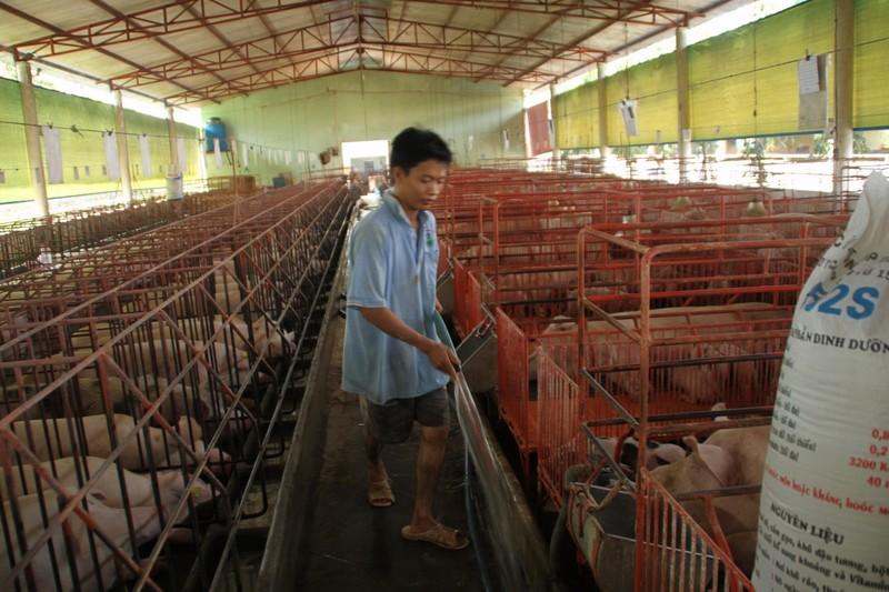 Giữa cơn sốt, lo heo lậu từ Thái Lan tuồn vào Việt Nam - ảnh 1