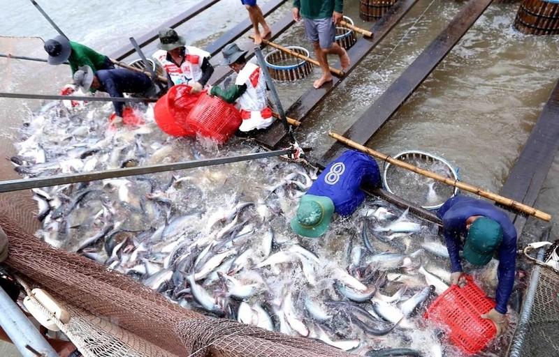 Cá tra Việt tìm đường vượt dịch COVID-19 - ảnh 2