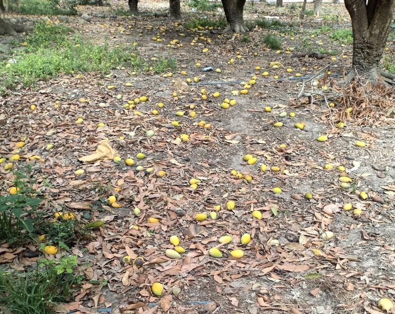 Xoài chín rụng đầy gốc, giá bèo chỉ 2.000 đồng/kg - ảnh 1