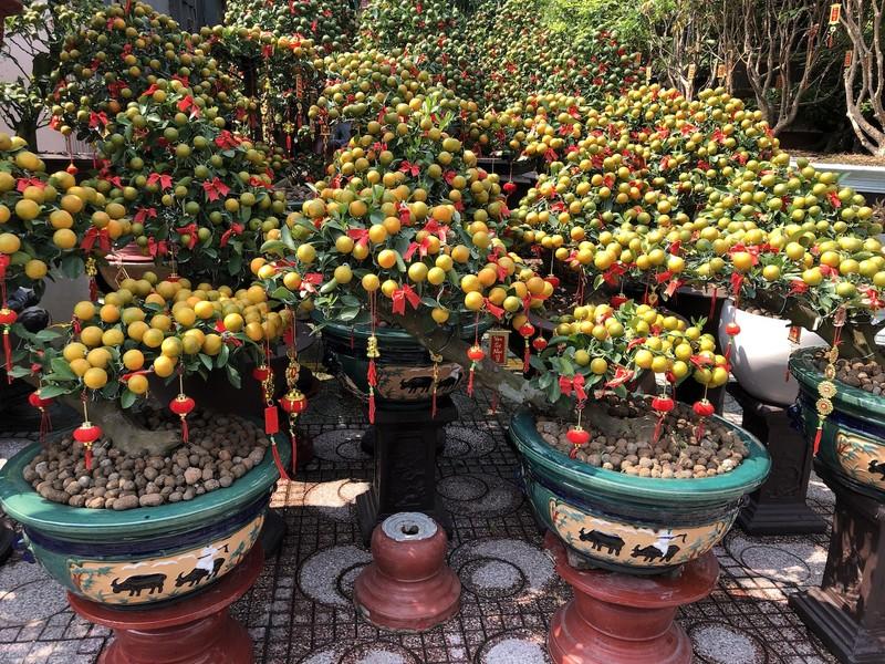 Tắc trâu vàng, tắc bonsai tạo hình kỳ công đắt khách - ảnh 5