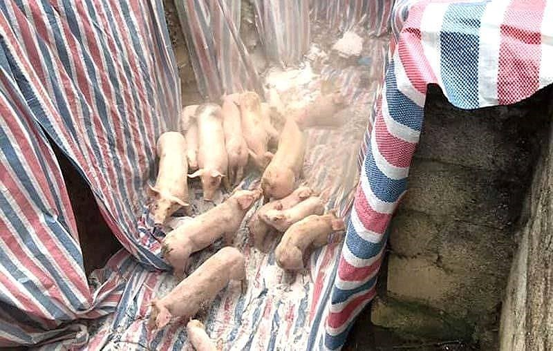 TP.HCM ngưng mua heo từ các tỉnh phía Bắc  - ảnh 1
