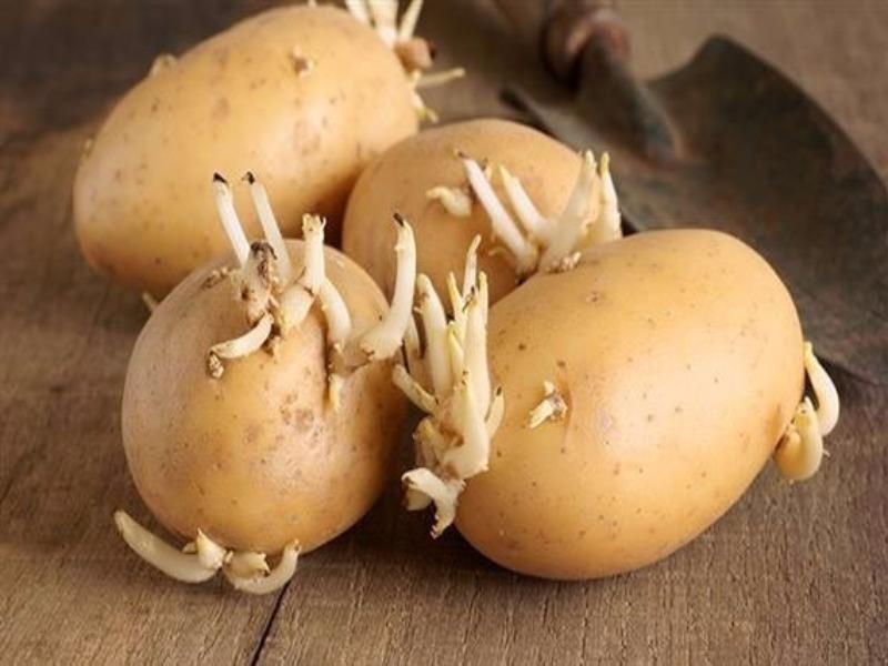 Vì sao không nên để khoai tây trong tủ lạnh? - ảnh 1