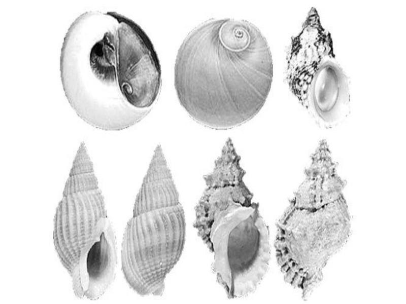 Điểm mặt những loại ốc biển gây nguy hiểm khi ăn - ảnh 3