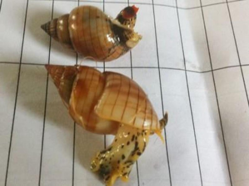 Điểm mặt những loại ốc biển gây nguy hiểm khi ăn - ảnh 1