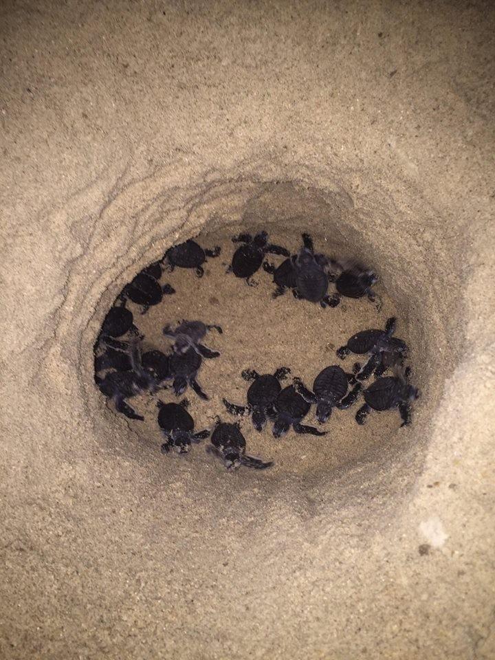 Thả 103 rùa con về biển Hòn Cau - ảnh 3