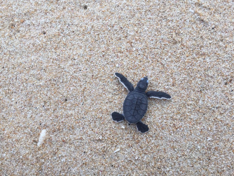 Thả 103 rùa con về biển Hòn Cau - ảnh 5