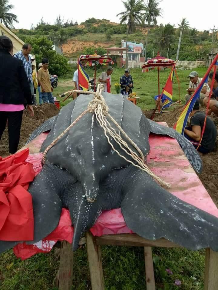 Chôn cất 'cụ' rùa khủng dài 3 m, nặng hơn nửa tấn - ảnh 2