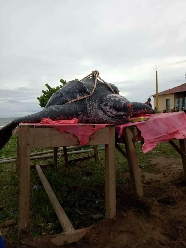 Chôn cất 'cụ' rùa khủng dài 3 m, nặng hơn nửa tấn - ảnh 1