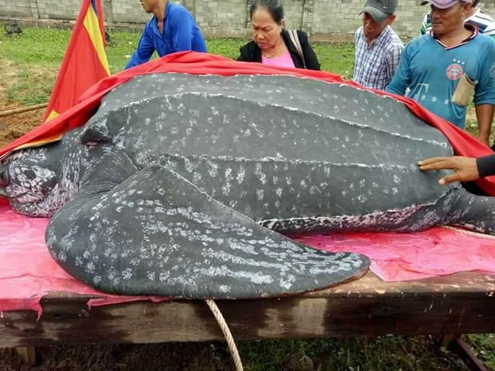 Chôn cất 'cụ' rùa khủng dài 3 m, nặng hơn nửa tấn - ảnh 4