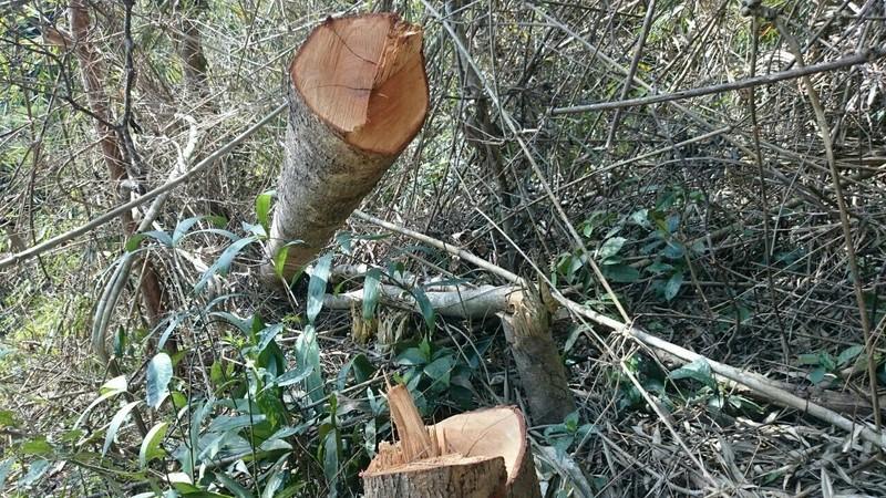 Công an đi kiểm tra vụ phá rừng trên đồi Kumagai - ảnh 2