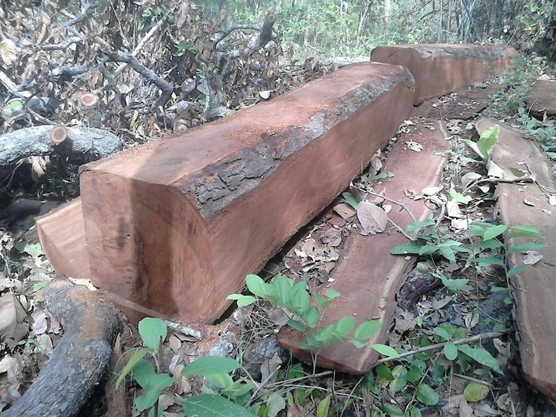 Bình Thuận yêu cầu xử nghiệm vụ phá 266 m3 gỗ ở rừng Sông Lũy  - ảnh 3