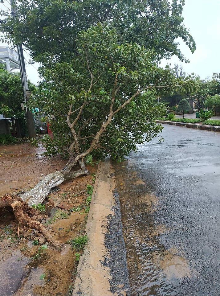 Phú Quý đã có gió to mưa lớn, nhiều cây bị quật trốc gốc - ảnh 1