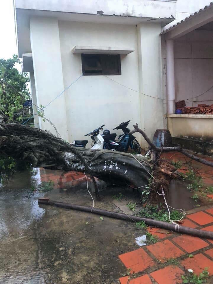 Phú Quý đã có gió to mưa lớn, nhiều cây bị quật trốc gốc - ảnh 2