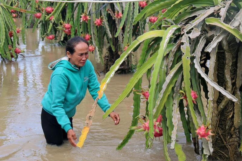 Bình Thuận: Thanh long ngập nước, 200 hộ dân bị chia cắt  - ảnh 1