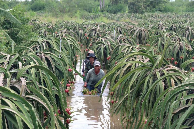 Bình Thuận: Thanh long ngập nước, 200 hộ dân bị chia cắt  - ảnh 4