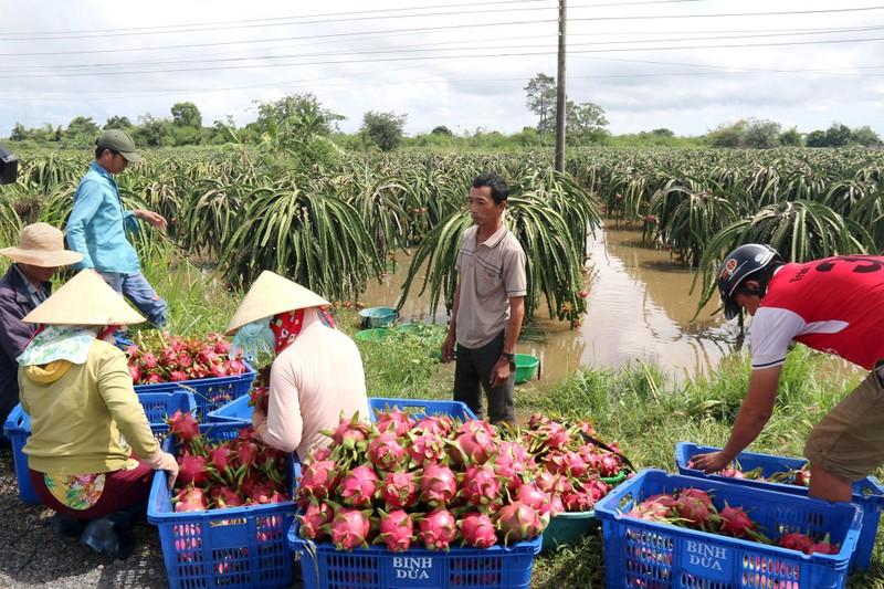Bình Thuận: Thanh long ngập nước, 200 hộ dân bị chia cắt  - ảnh 5