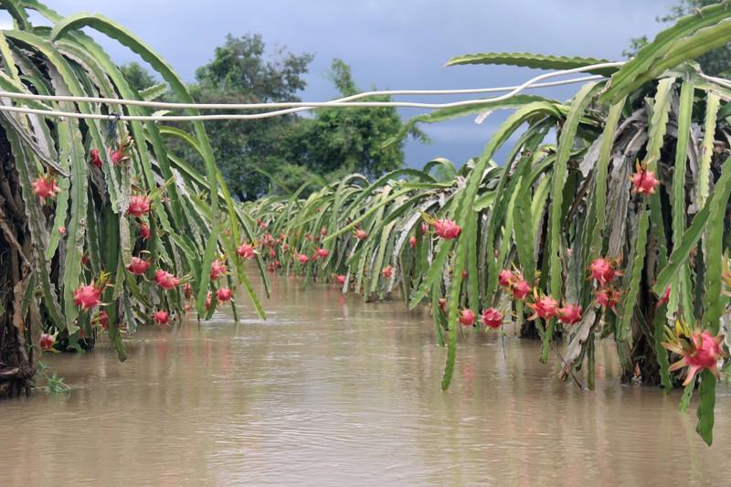 Bình Thuận: Thanh long ngập nước, 200 hộ dân bị chia cắt  - ảnh 6
