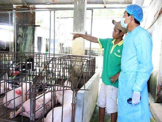 Bình Thuận tiêu hủy 865 con heo mắc dịch tả heo châu Phi - ảnh 1