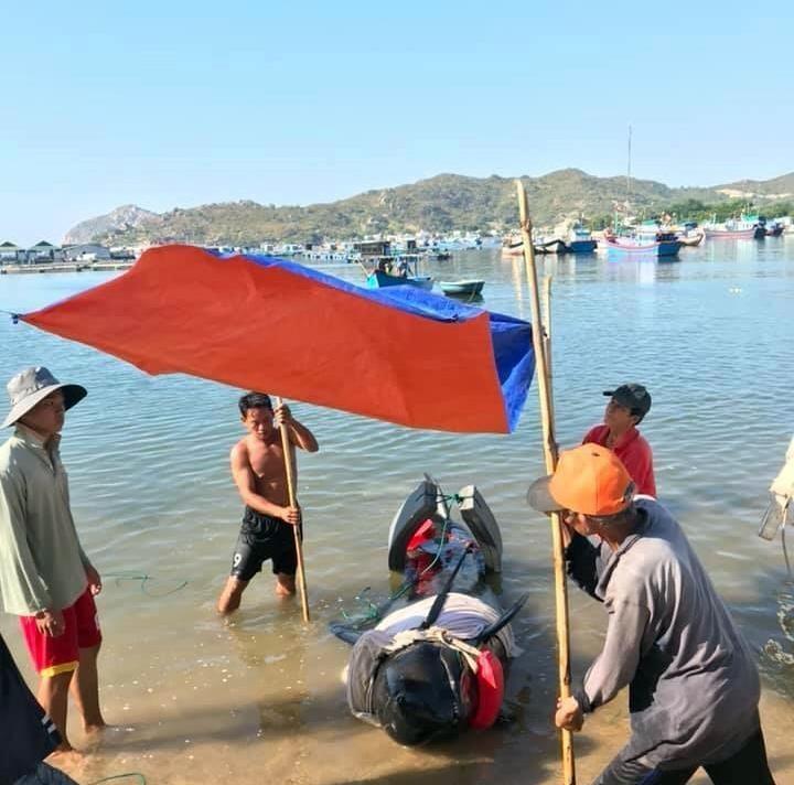 Cứu hộ bất thành cá voi 250 kg lạc vào vịnh Vĩnh Hy  - ảnh 3