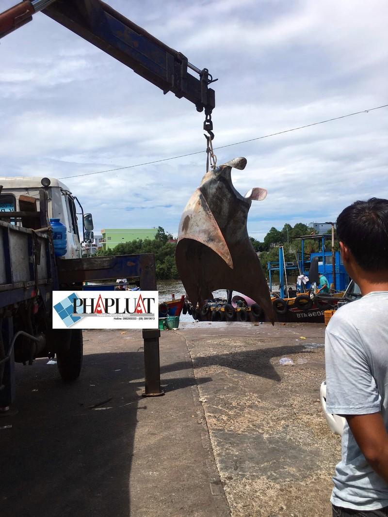 Ngư dân Bình Thuận bắt được cá đuối khủng nặng gần 800 kg - ảnh 3