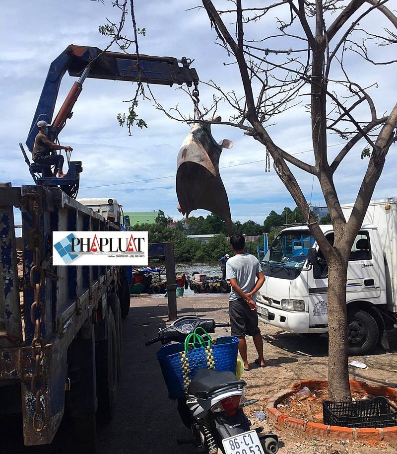 Ngư dân Bình Thuận bắt được cá đuối khủng nặng gần 800 kg - ảnh 6