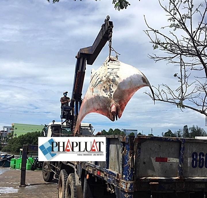Ngư dân Bình Thuận bắt được cá đuối khủng nặng gần 800 kg - ảnh 5