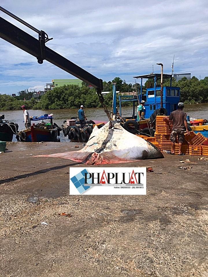 Ngư dân Bình Thuận bắt được cá đuối khủng nặng gần 800 kg - ảnh 2