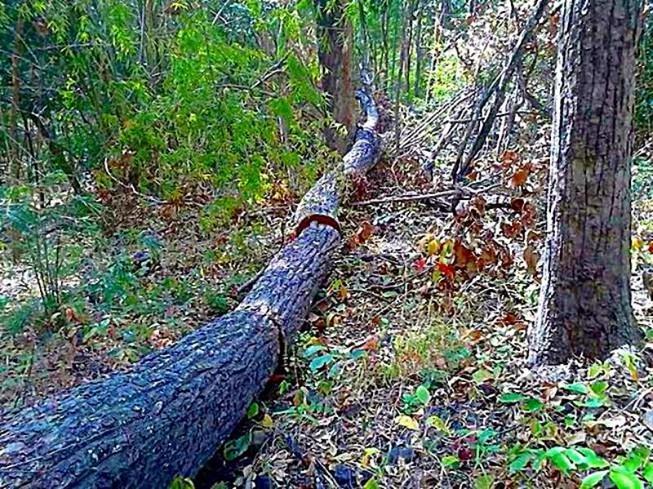 Lâm tặc triệt hạ hàng trăm cây rừng tại suối Vàng, Tà Kóu - ảnh 1