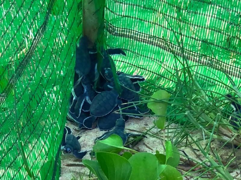 Bảo vệ nghiêm ngặt đưa 45 chú rùa tí hon về đại dương - ảnh 3