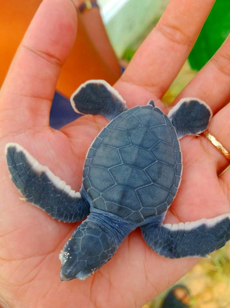 Bảo vệ nghiêm ngặt đưa 45 chú rùa tí hon về đại dương - ảnh 2