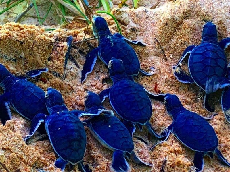 Bảo vệ nghiêm ngặt đưa 45 chú rùa tí hon về đại dương - ảnh 7