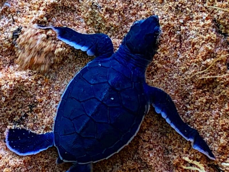Bảo vệ nghiêm ngặt đưa 45 chú rùa tí hon về đại dương - ảnh 8