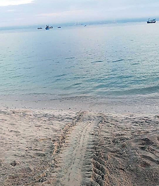 Đỡ đẻ thành công rùa biển nặng 80kg về Hòn Cau sinh sản - ảnh 8