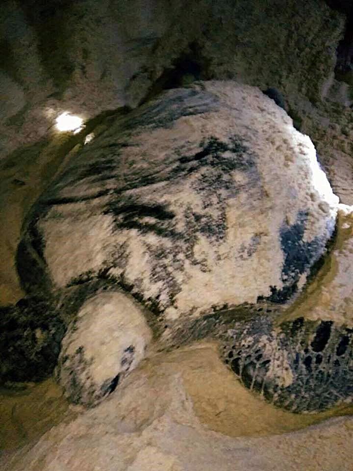 Đỡ đẻ thành công rùa biển nặng 80kg về Hòn Cau sinh sản - ảnh 2