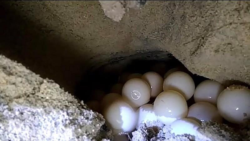 Đỡ đẻ thành công rùa biển nặng 80kg về Hòn Cau sinh sản - ảnh 4