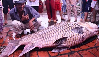 Bắt được cá hô nặng 130kg trên sông Mỹ An - ảnh 2