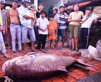 Bắt được cá hô nặng 130kg trên sông Mỹ An - ảnh 1