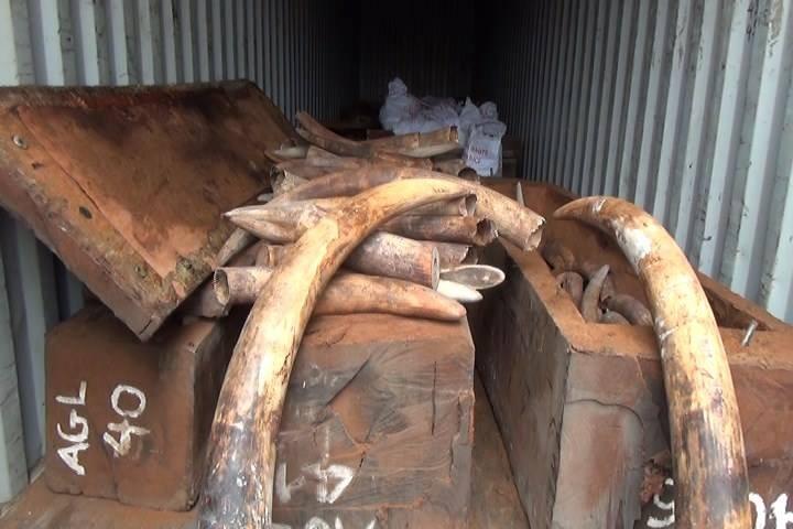 Bắt giữ 2 tấn ngà voi nhập lậu trị giá hàng trăm tỉ - ảnh 1