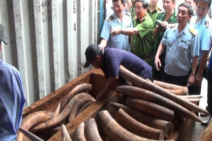 Bắt giữ 2 tấn ngà voi nhập lậu trị giá hàng trăm tỉ - ảnh 2