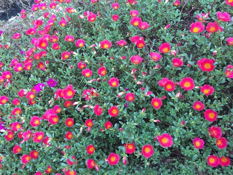 Làng hoa mười giờ đẹp bình dị bên dòng Nhật Lệ - ảnh 5