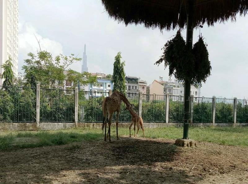 Lần đầu tiên hươu cao cổ sinh con tự nhiên tại Thảo Cầm Viên  - ảnh 1