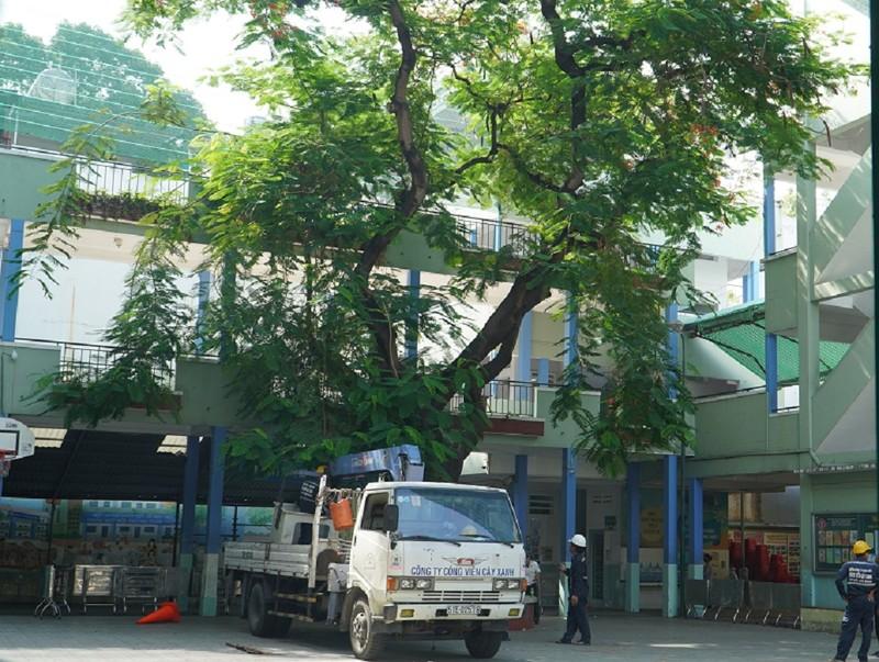 Sau sự cố cây đổ, trường Bạch Đằng xử lý cây phượng còn lại - ảnh 2