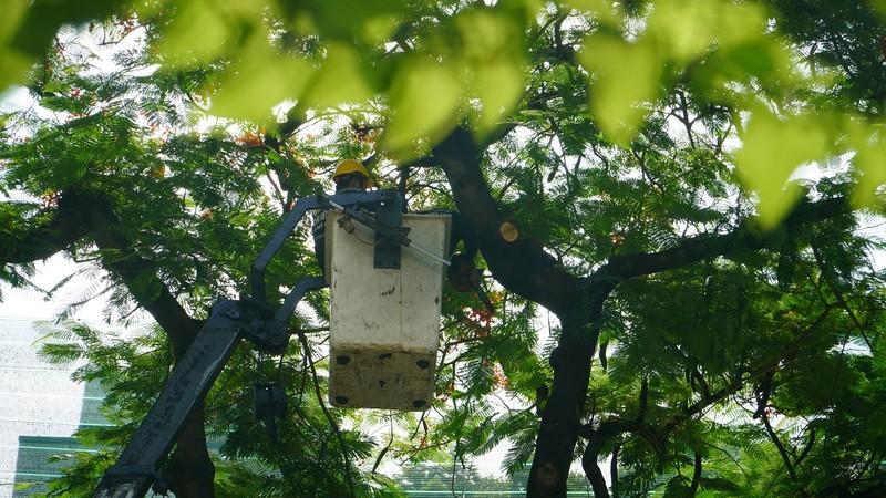 Sau sự cố cây đổ, trường Bạch Đằng xử lý cây phượng còn lại - ảnh 4
