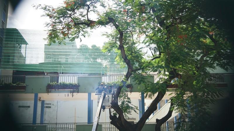Sau sự cố cây đổ, trường Bạch Đằng xử lý cây phượng còn lại - ảnh 3