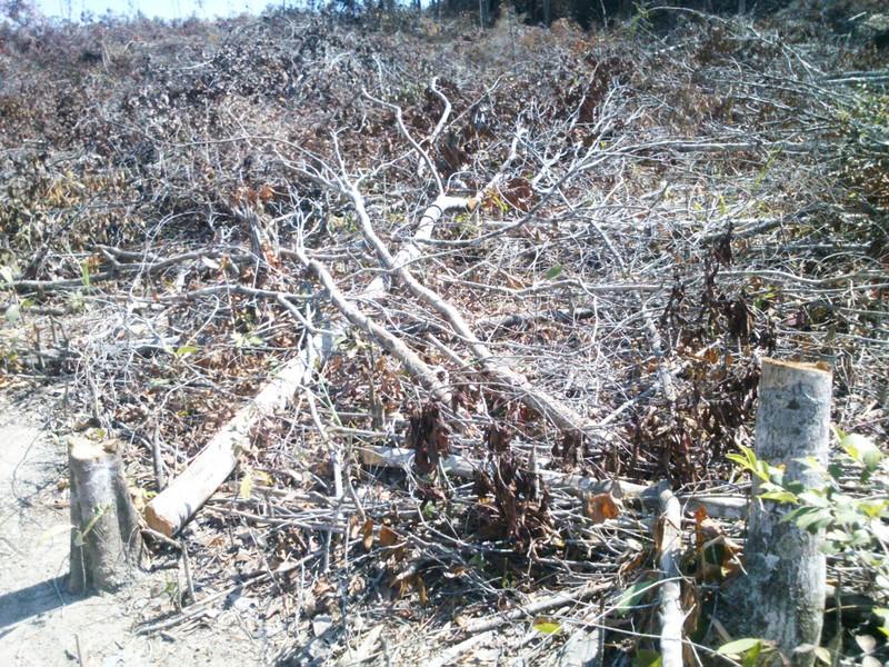 Phú Yên: Điều tra vụ chặt hạ 108 ha rừng - ảnh 3