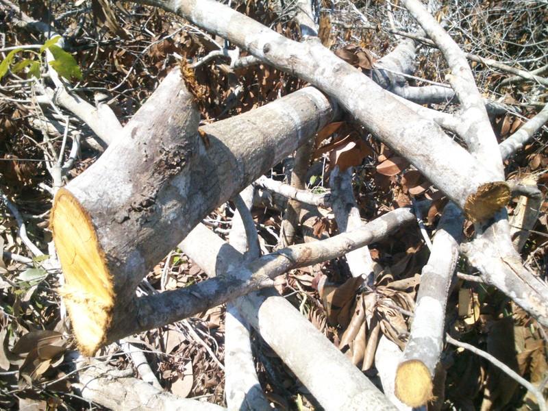 Phú Yên: Điều tra vụ chặt hạ 108 ha rừng - ảnh 4