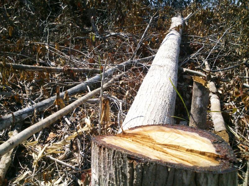 Phú Yên: Điều tra vụ chặt hạ 108 ha rừng - ảnh 7