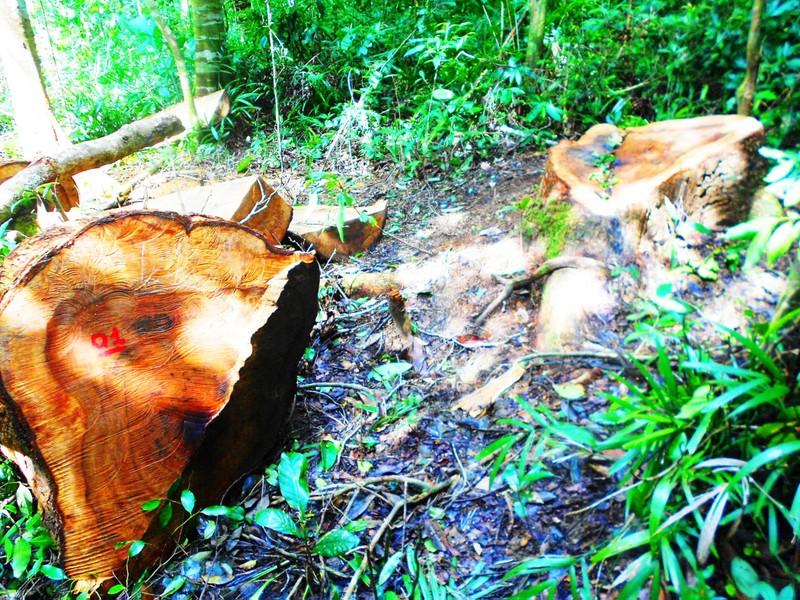 Khởi tố vụ chặt 13 cây gỗ quý trong rừng phòng hộ - ảnh 2