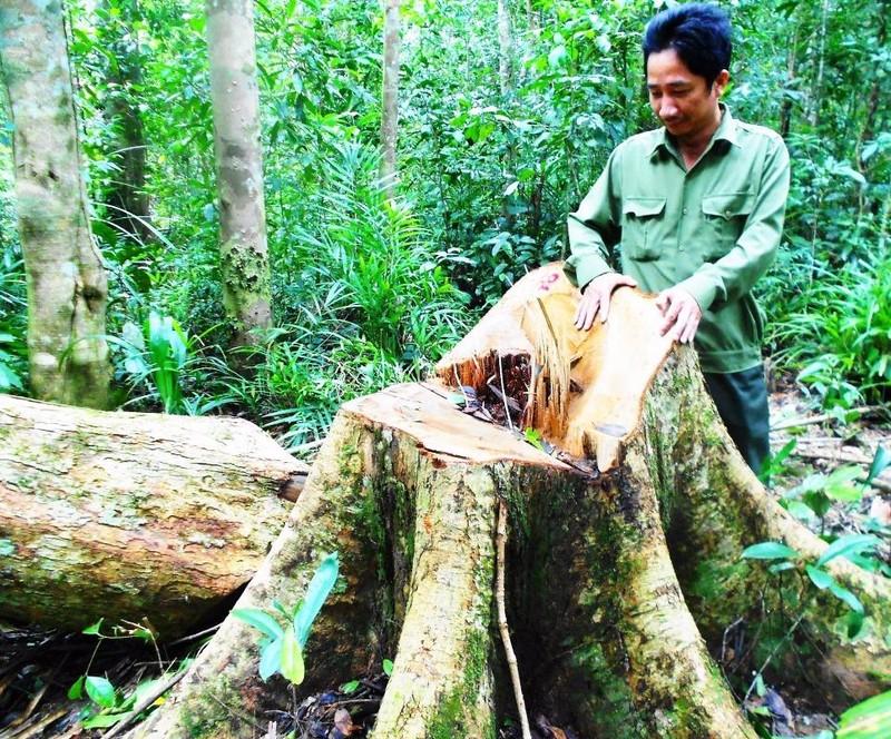 Một trong những cây gỗ dổi bị đốn hạ.