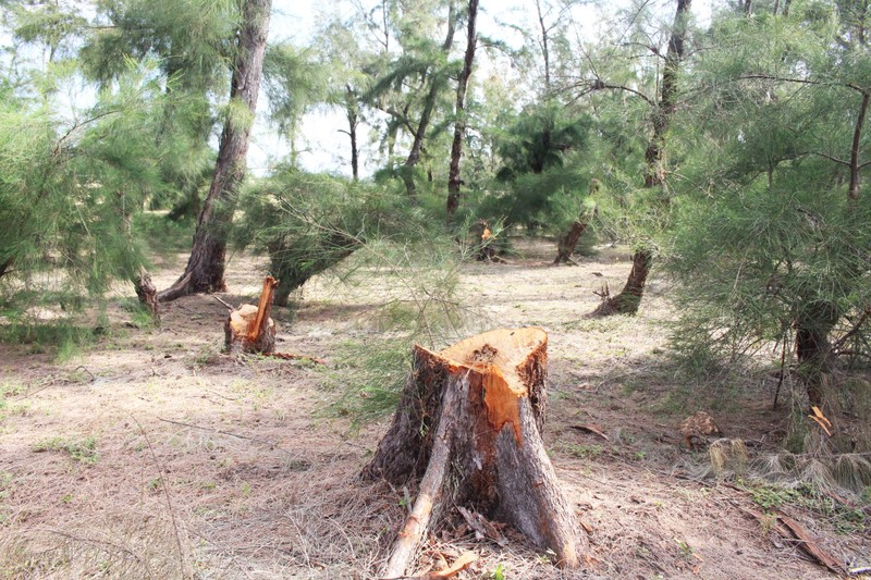 Buộc HTX phá rừng phòng hộ trồng lại rừng - ảnh 2